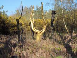 Forêt de Brocéliande L_arbr10