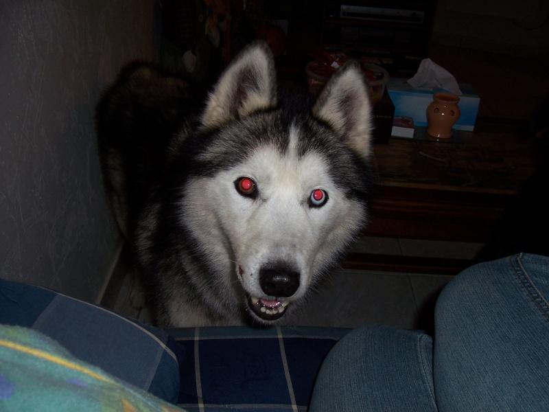 NOEMIE - femelle husky 11 ans - SPPA 80 DECEDEE - Page 5 001_310