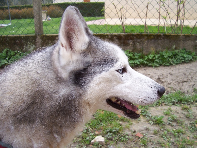 CANDY - femelle husky 12 ans - Asso TAIGA [DECEDEE] 100_2211