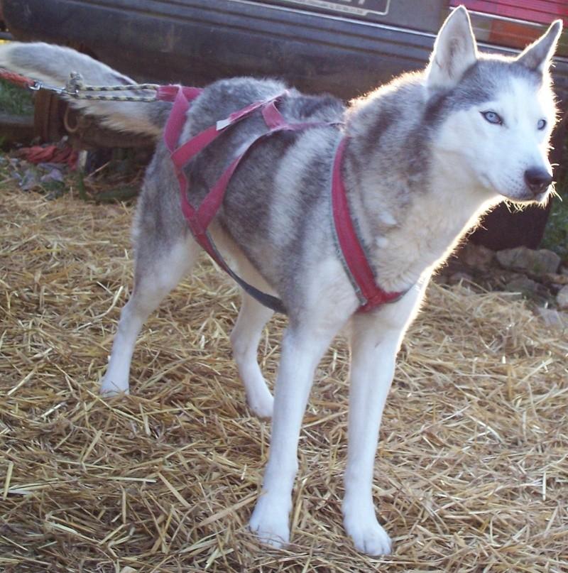 CANDY - femelle husky 12 ans - Asso TAIGA [DECEDEE] 100_2220