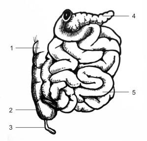 Анатомия на човека! Bowels10