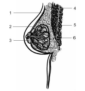 мило - Анатомия на човека! - Page 2 Breast10
