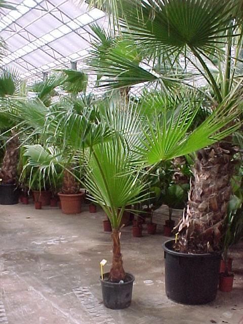 Палми-видове,грижи и съвети! E09e7610