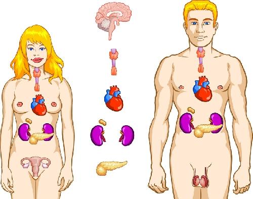 Анатомия на човека! Endocr10
