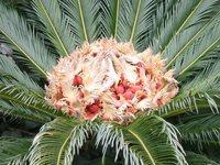 Палми-видове,грижи и съвети! F_579310