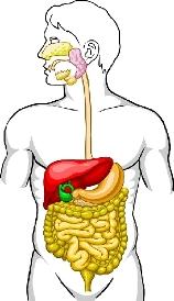 Анатомия на човека! Human_11