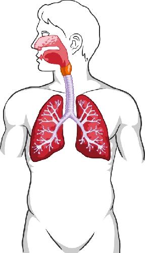 Анатомия на човека! Lungss11