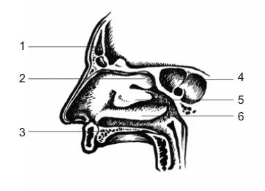 Анатомия на човека! Nasal_10