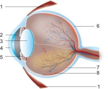 Анатомия на човека! Oculus10