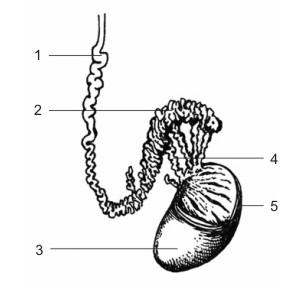 мило - Анатомия на човека! - Page 2 Testis10