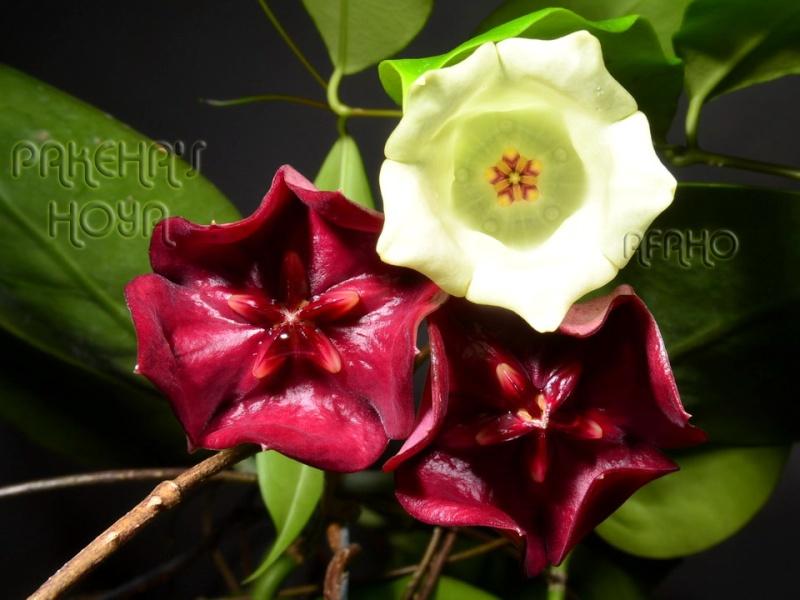 Hoya sp. Sabah SDK41 (Deep Bell) 20120314