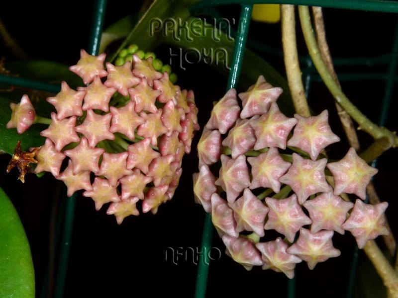 Hoya mindorensis & erythrostemma Dsc_1710