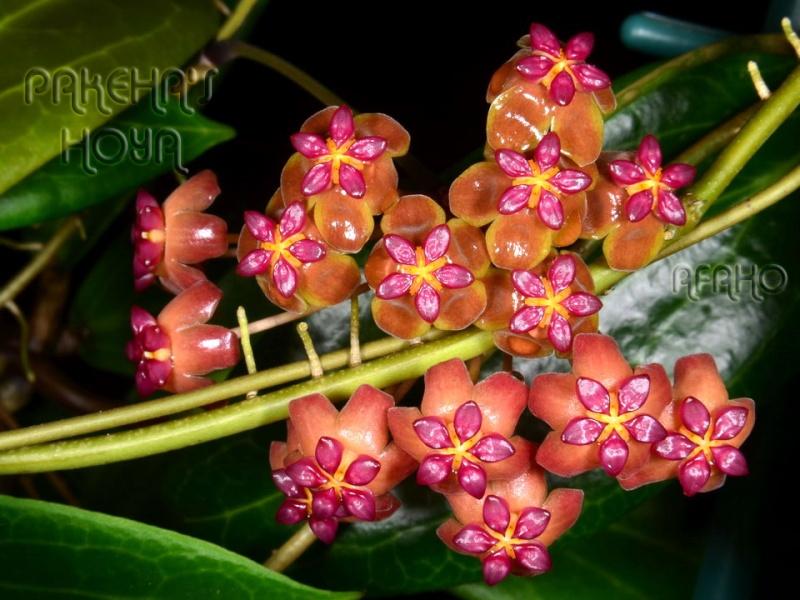 Hoya soligamiana Dsc_3511