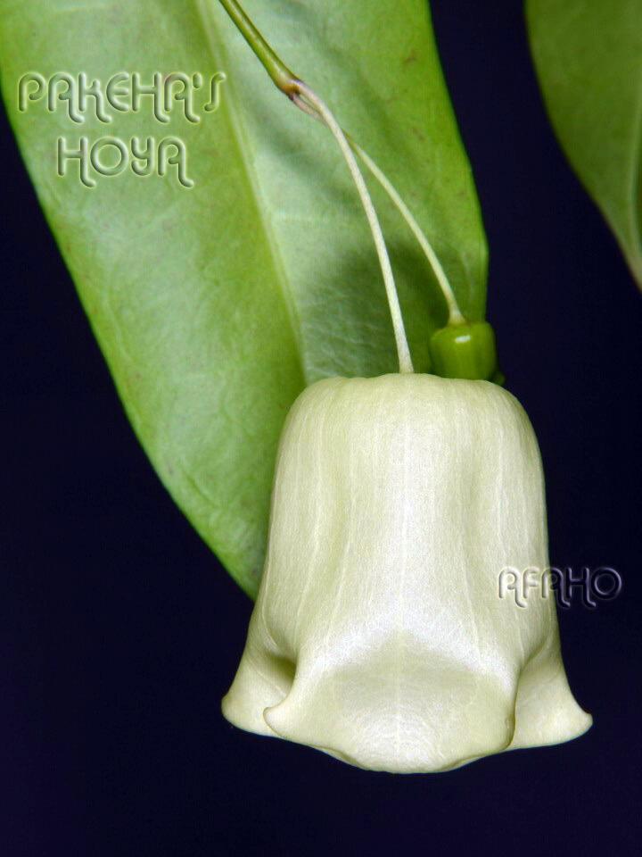 Hoya sp. Sabah SDK41 (Deep Bell) Dsc_4612