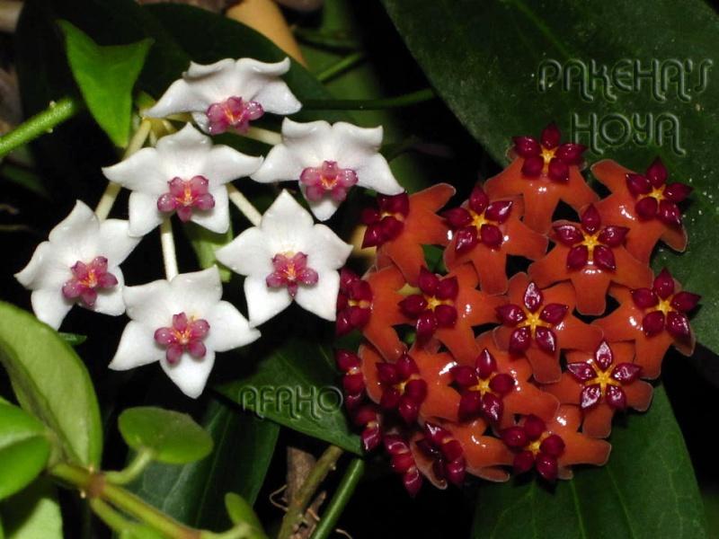 Hoya bordenii Img_0119
