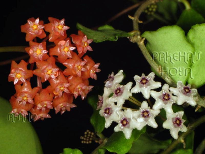 Hoya ilagiorum (fost hoya ilagii) Img_0214