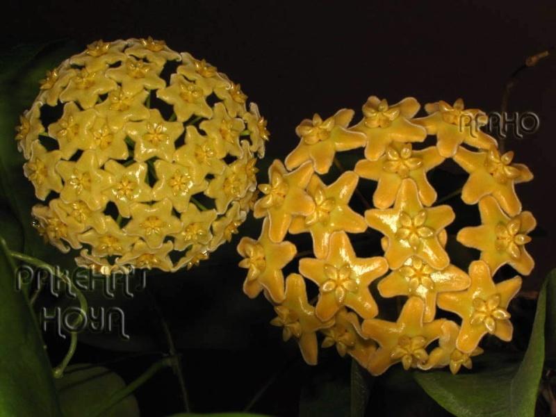 Hoya ischnopus & dischorensis & kenejiana Img_0315