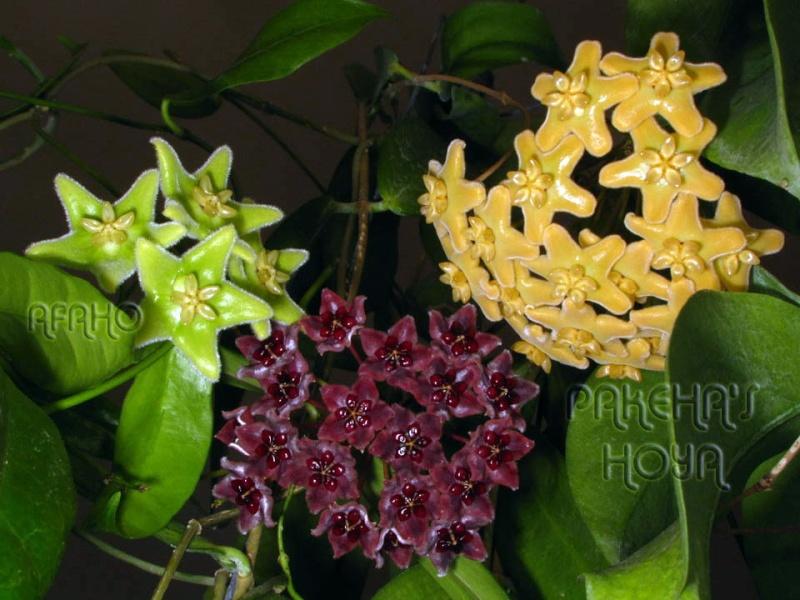 Hoya globulifera (& H lamingtoniae) Img_0419