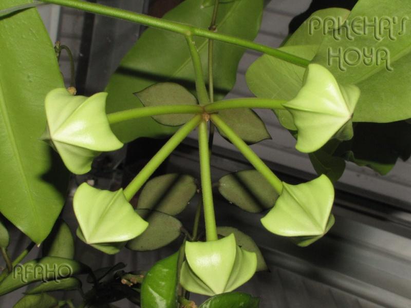 Hoya imperialis - Pagina 4 Img_0615
