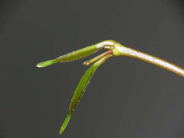 Hoya sp. Sabah SDK41 (Deep Bell) Img_0916