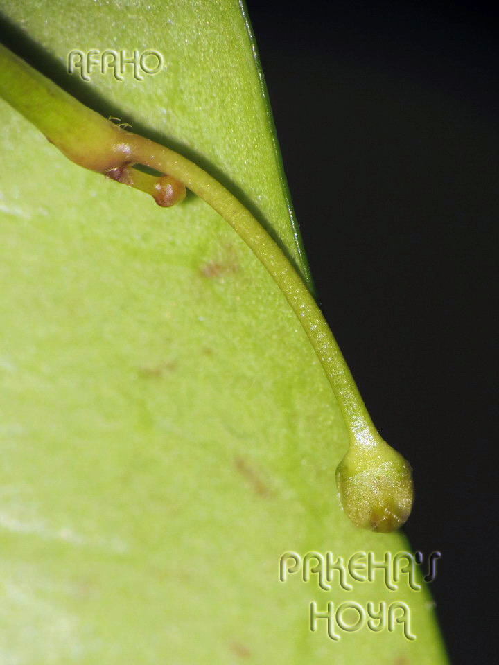 Hoya sp. Sabah SDK41 (Deep Bell) Img_1310