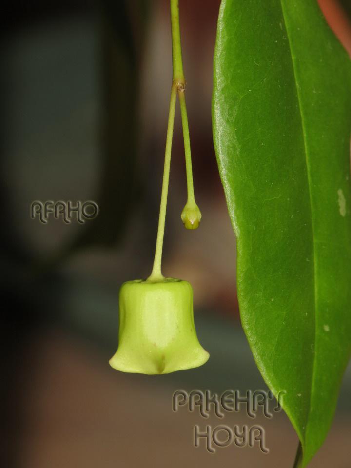 Hoya sp. Sabah SDK41 (Deep Bell) Img_1415