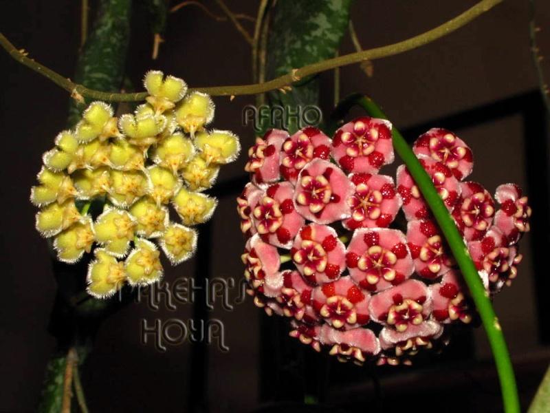 Hoya meliflua ssp fraterna (& ssp meliflua) Img_3016