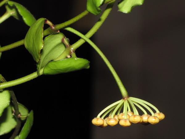 Hoya endauensis Img_4715