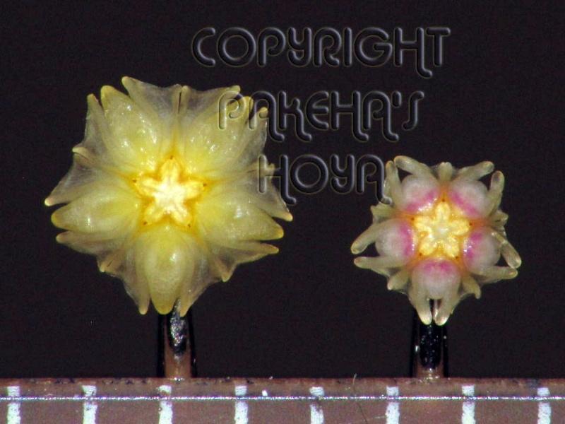 3 pufosenii mici : H nabawanensis / pusilla / parviflora Img_9411