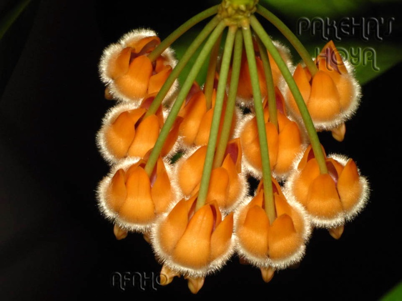 Noua varietate de Hoya lasiantha Img_9717
