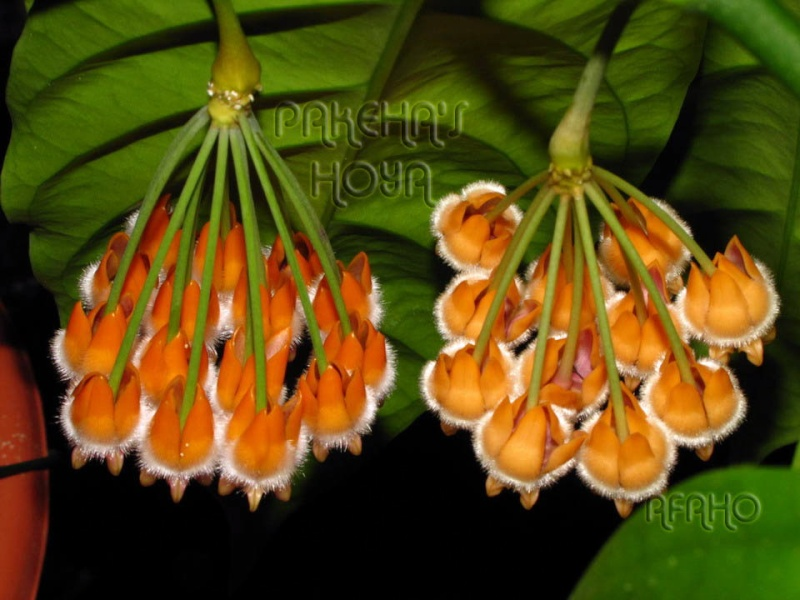 Noua varietate de Hoya lasiantha Img_9719
