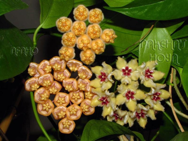 Noua varietate de Hoya lasiantha Img_9821