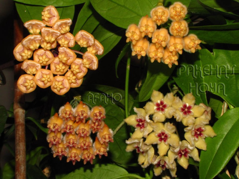 Noua varietate de Hoya lasiantha Img_9928