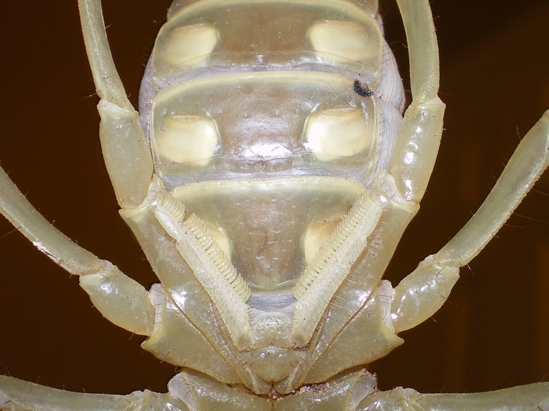 sexing 3 H. arizonensis Imgp6012
