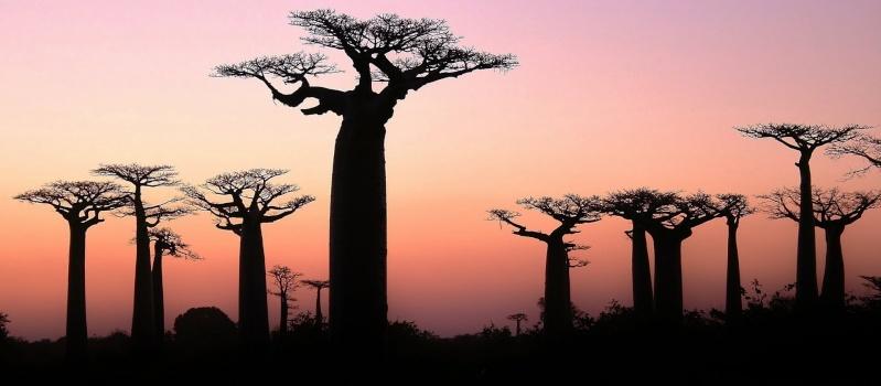 Les photographies PANORAMIO : petit florilège par TSGE  :) - Page 4 Baobab10
