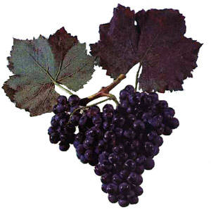 Сорта винограда Alican10