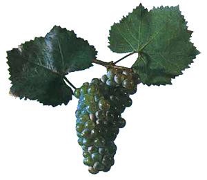 Сорта винограда Aligot10