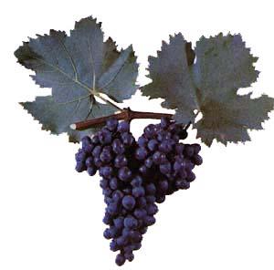 Сорта винограда Bastar10