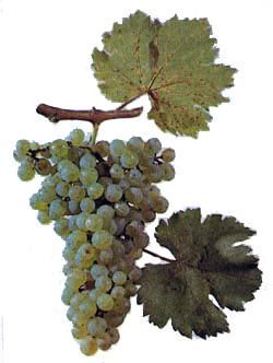 Сорта винограда Bayans10