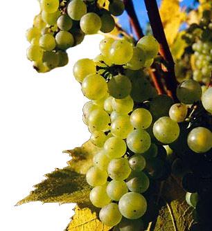 Сорта винограда Chardo10