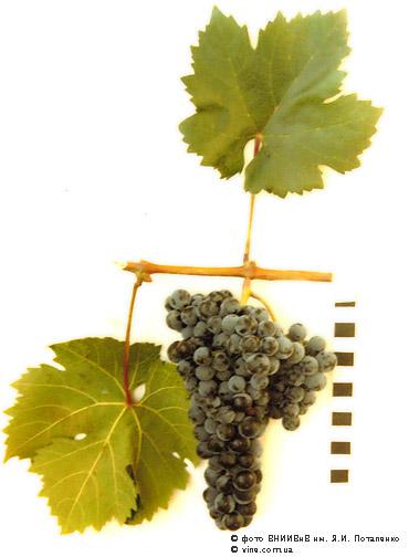 Сорта винограда Cimlan10