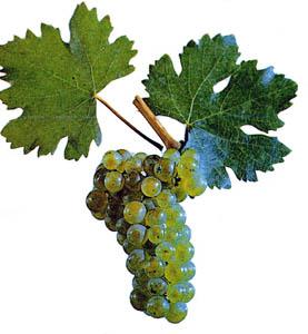Сорта винограда Fetask10