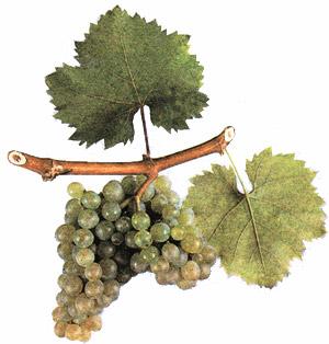Сорта винограда Furmin10