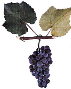 Сорта винограда Izabel10