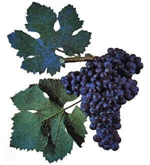 Сорта винограда Matras10