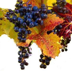 Сорта винограда Merlo10