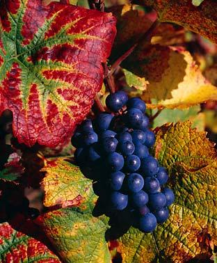 Сорта винограда Pinotn10