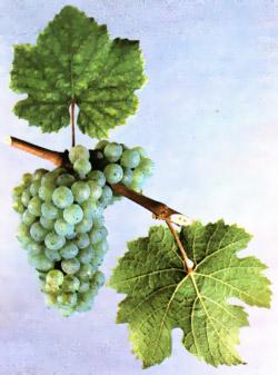 Сорта винограда Riesli10