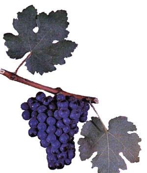 Сорта винограда Rumaga10