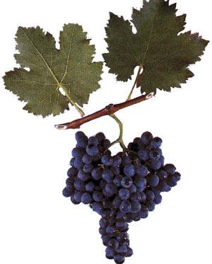 Сорта винограда Sapera10